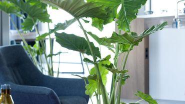 Plante d 39 int rieur du mois l 39 alocasia for Alocasia d interieur