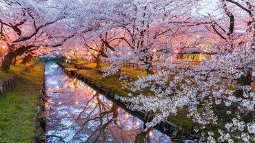 Le printemps approche et une question taraude Japonais et touristes: quand les cerisiers vont-ils enfin éclore?