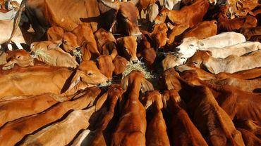 Australie: les vaches tuent chaque année plus de personnes que les serpents ou requins