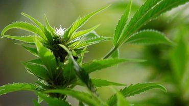 La police a découvert plus plus de 1100 plants de cannabis.