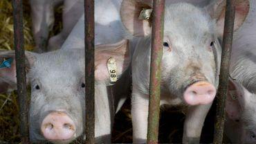 La peste porcine africaine encore d'actualité