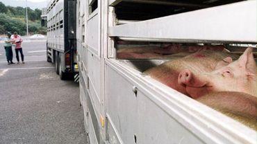 Ce véhicule transporterait des cochons (illustration).