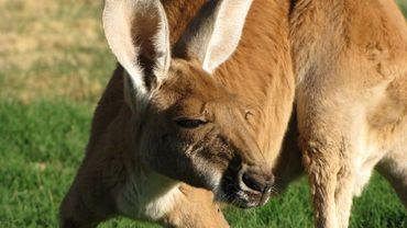 Le kangourou profite de sa liberté et se promène depuis 15 jours maintenant dans tout le village (illustration).