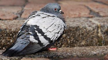 Il envahit les villes mais ... d'où vient le pigeon ?