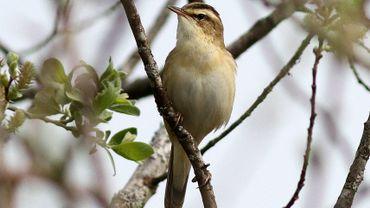 Le phragmite des joncs, une espèce d'oiseau qui a recolonisé le marais dès la fin des travaux de restauratioo photo M. Ameels.