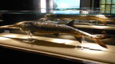 Un Psephurus gladius (poisson-spatule chinois)  exposé au Musée des sciences hydrobiologiques de l'Institut d'hydrobiologie de l'Académie des sciences de Chine à Wuhan.