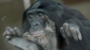 Les bonobos sont l'un des plus proches cousins de l'homme avec les chimpanzés