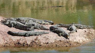 Des crocodiles lâchés le 30 mai 2015 dans un nouveau parc de loisirs à Agadir