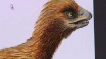L'oiseau de l'aurore a à peine la taille d'une poule