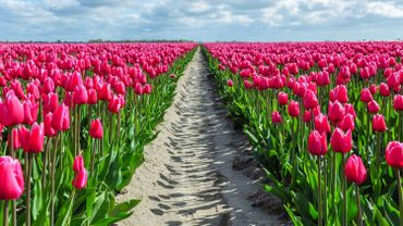 Coronavirus: des millions de tulipes sauvées de la décharge grâce à une initiative originale