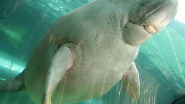 Un dugong dans un aquarium de Sydney, le 19 décembre 2008 en Australie
