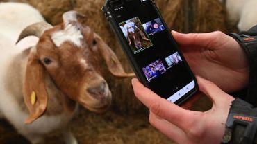 La fermière Dot McCarthy filme une de ses chèvres pour un appel de zoom à Cronkshaw Fold Farm, Rossendale, nord-ouest de l'Angleterre, le 9 février 2021.
