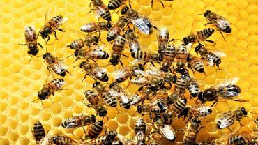 Apithérapie : du venin d'abeille pour soigner le cancer du sein ?