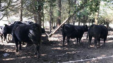 Des vaches heureuses !