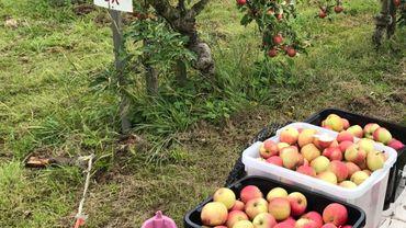 Cueillir, payer et emporter vos pommes vous-mêmes à Henripont