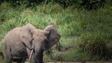 Eléphant d'Afrique du Gabon, photo du 26 avrl 2019.