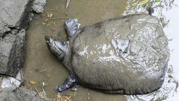 La tortue à carapace molle du Yangtsé ne compte plus que trois spécimens connus à la surface du globe après le décès samedi d'une femelle âgée d'au moins 90 ans au zoo de la ville de Suzhou, dans la région de Shanghai