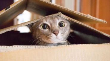 Cat playing Peek a Boo in a box
