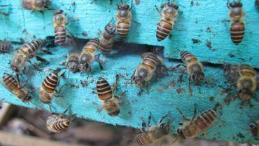 Entrée d'une ruche d'abeilles de l'espèce Apis cerana dans un rucher vietnamien.