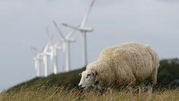 Un mouton près du parc à éoliennes de l'île de Pellworm, au nord de l'Allemagne, le 9 août 2013