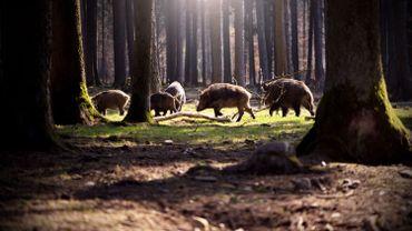 Les passages à faune au-dessus du Ring bruxellois sont intensément utilisés par les animaux