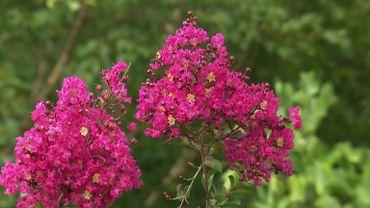 Zoom sur le Lagerstroemia 'Saint Emilion', un arbuste décoratif en toutes saisons