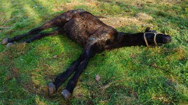 Les chevaux ont été négligés mais à présent ils vont mieux
