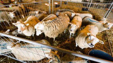 Des moutons avant l'abattage