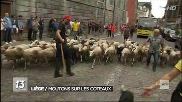 Liège: 60 moutons ont transhumé vers les Coteaux de la Citadelle pour y passer l'été