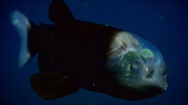 Barrel Eye Fish