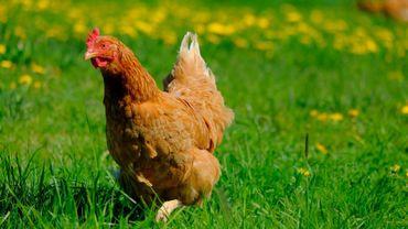 Ma poule, une entreprise qui propose des poules en location