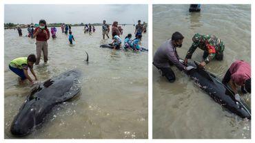 Une large foule s'est rassemblée sur une plage indonésienne où une cinquantaine de baleines pilotes se sont échouées à partir du 18 février 2021