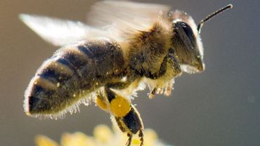 Les abeilles, bienvenues à Bruxelles?