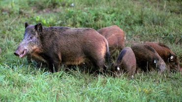 Un troupeau de sangliers se gambade dans la nature