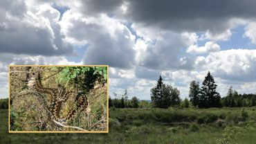 Une tourbière, en fagne Malchamps, devrait bientôt accueillir des vipères: une opération de sauvetage