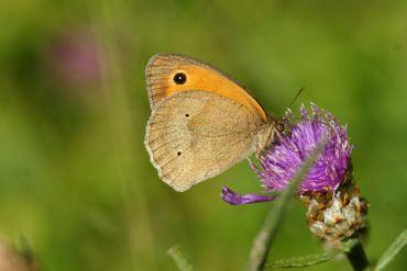 Le myrtil (Maniola jurtina), petit papillon aimant les prairies et autres lieux ensoleillés
