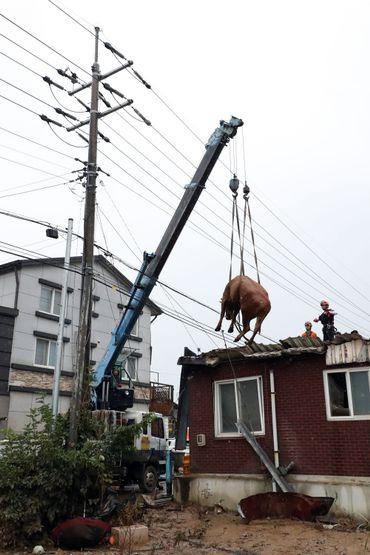 Opération de sauvetage d'une vache coincée sur un toit en Corée du Sud