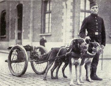 Le mâtin belge était utilisé pour tirer des mitrailleuses, notamment pendant la Première guerre mondiale