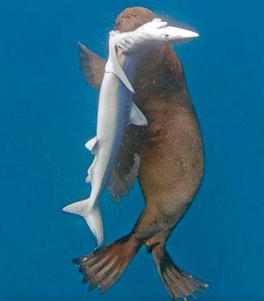En Afrique du Sud, une otarie tue... cinq requins et s'en nourrit