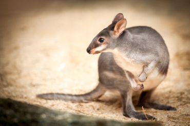 Les pademelons se distinguent des kangourous et autres wallabies par leur petite taille