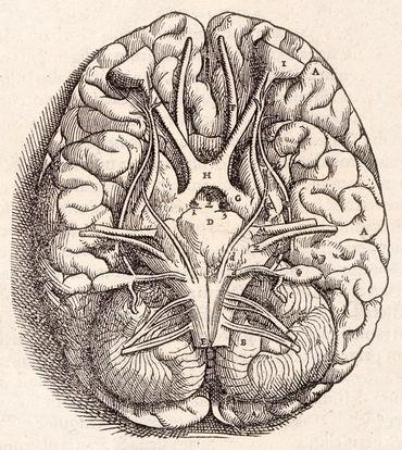 Gravure représentant le cerveau tel que décrit par Vésale