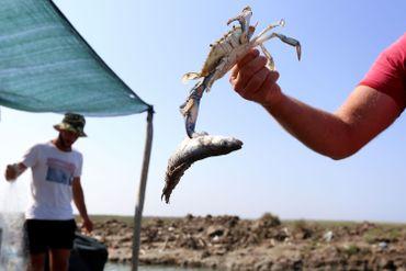 Le crabe bleu, redoutable prédateur et bête noire des pêcheurs albanais à la faveur du réchauffement climatique