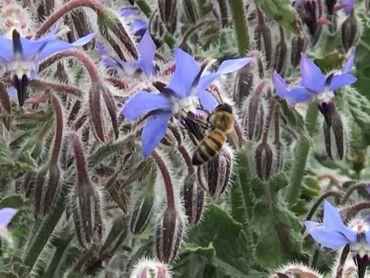 Les champs de fleurs, un paradis pour les abeilles.