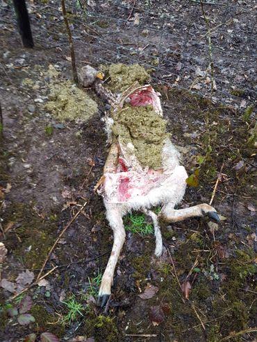 Une brebis dévorée retrouvée à La Roche-en Ardenne