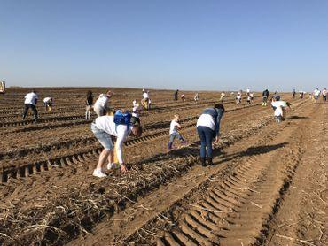 Ramassage de pommes de terre en famille dans un champ de Walhain