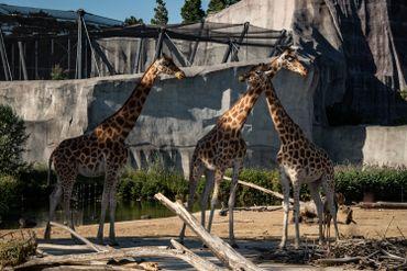 Girafes cherchant de l'ombre au zoo de Vincennes, à Paris, en cet épisode de canicule de ce mois d'août 2020