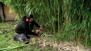 Chantier d'élimination de bambous par Bambou Solutions