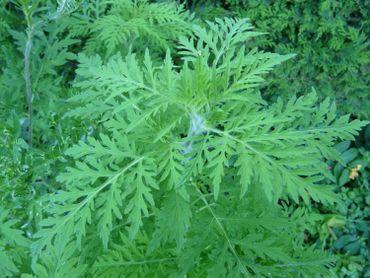 L'Ambroise, une plante très allergène, se dirige peu à peu vers la Belgique