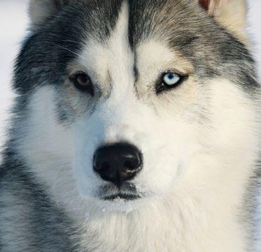le husky, le plus robuste mais têtu !