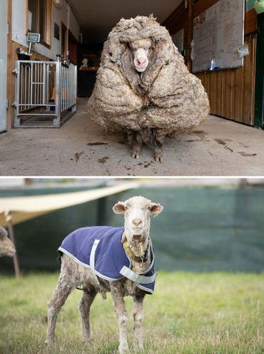 Australie: Baarack, un mouton sauvage, délesté de son pelage impressionnant de 35kg